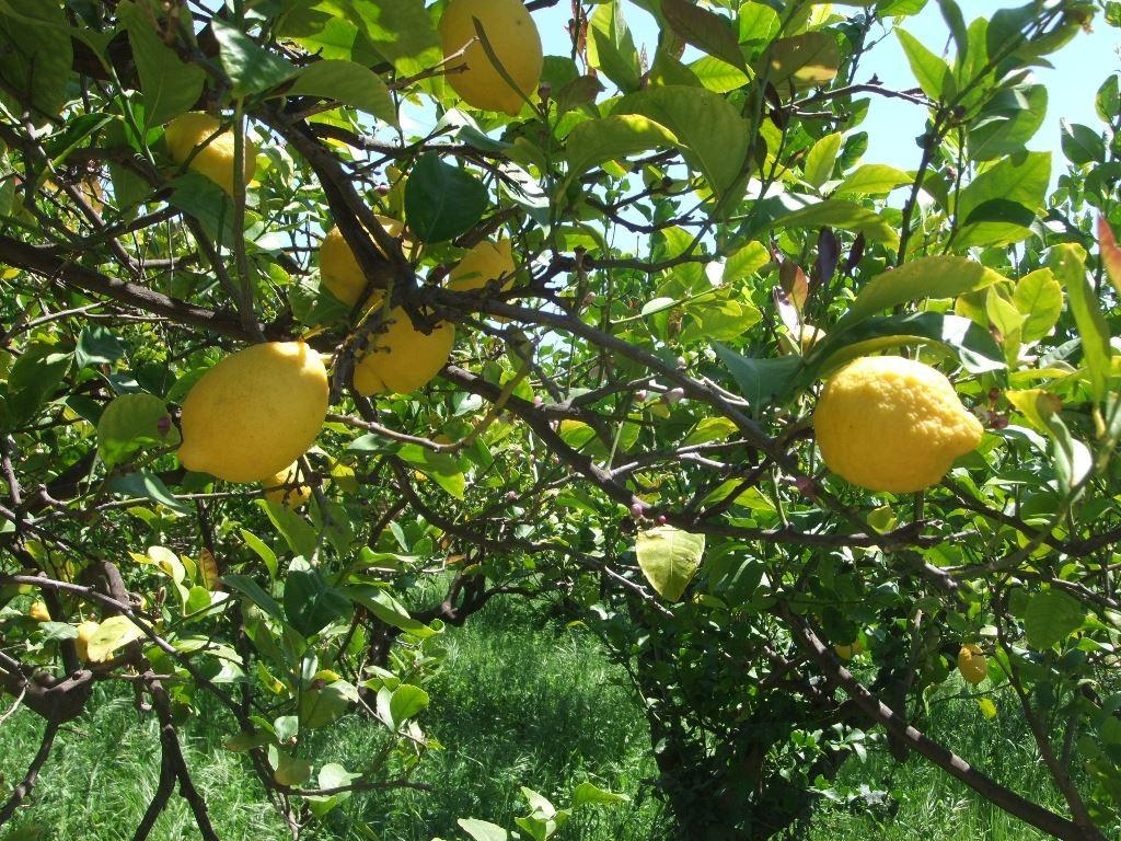 Zitronenbaum 1